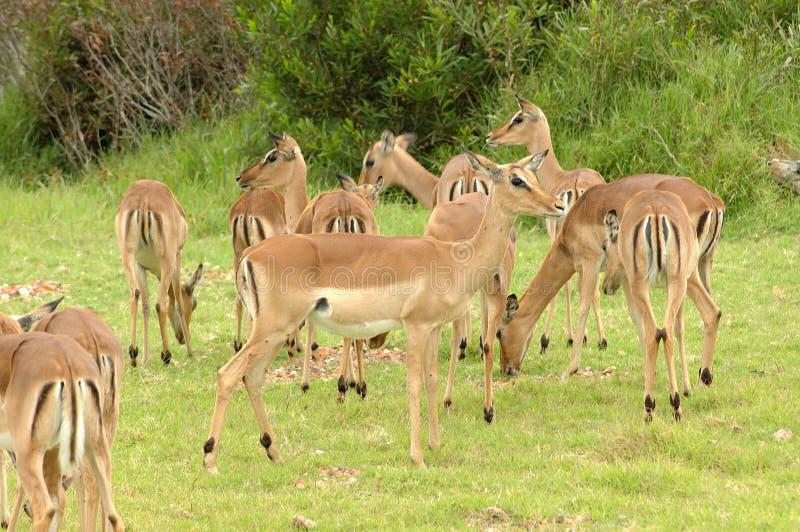 Het Afrikaanse wild stock fotografie