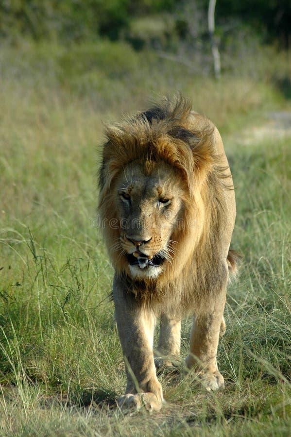 Het Afrikaanse wild royalty-vrije stock foto
