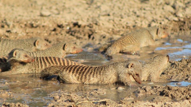 Download Het Afrikaanse Wild - Gestreepte Mongoes, - Band Van Broers 3 Stock Foto - Afbeelding bestaande uit muizen, zwart: 29509948