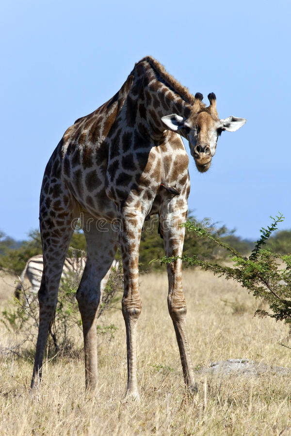 Het Afrikaanse Wild - Giraf - Botswana royalty-vrije stock afbeeldingen