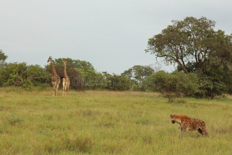 Het Afrikaanse Wild - giraf - het Nationale Park van Kruger royalty-vrije stock foto's