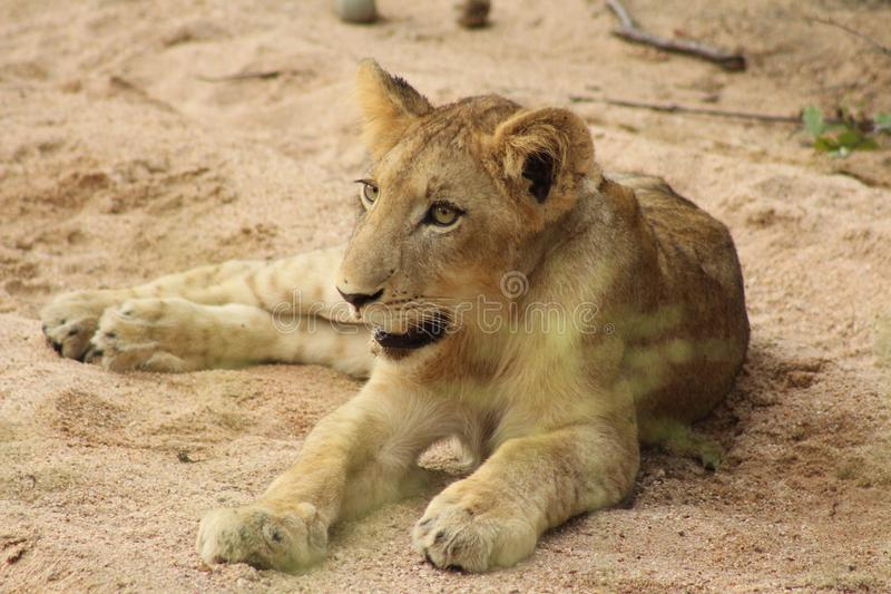 Het Afrikaanse Wild - Leeuwwelp - het Nationale Park van Kruger royalty-vrije stock afbeelding