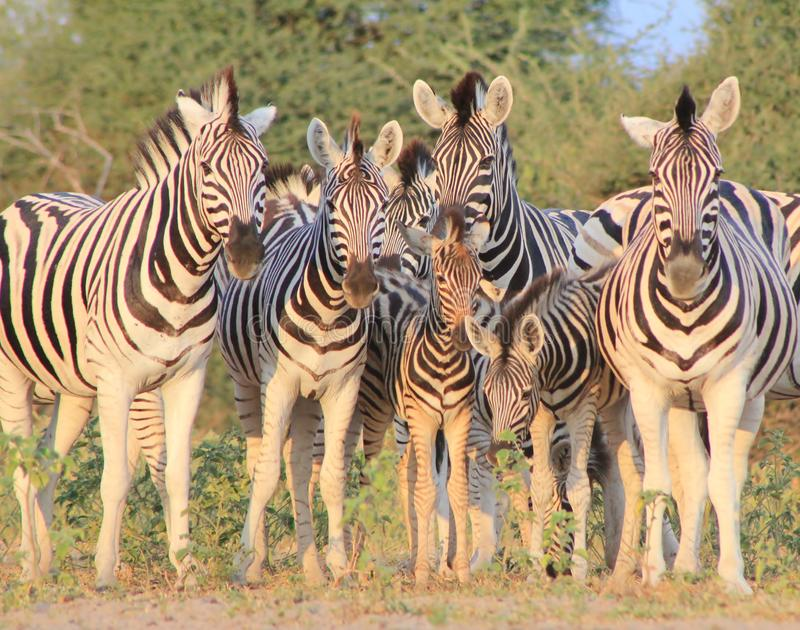 Het Afrikaanse Wild - Zebra, Burchell, de Foto van de Familie stock afbeeldingen