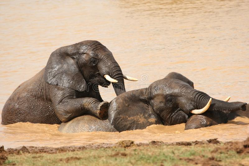 Het Afrikaanse Zwemmen van Olifanten royalty-vrije stock fotografie
