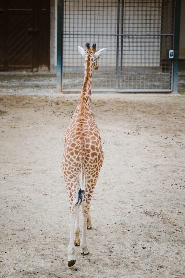 Het algemene plan, een jonge Afrikaanse die giraf loopt te voet over het grondgebied aan de camera in bewolkt weer wordt bevlekt  royalty-vrije stock afbeelding
