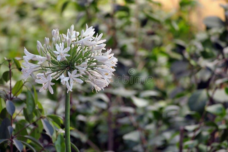 Het allium Giganteum is een mooie bloem met een zeer lange stam stock afbeelding