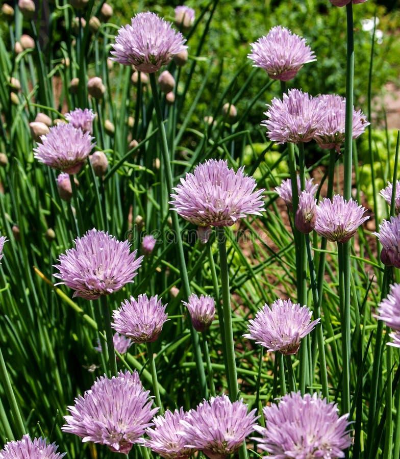 Het Allium Schoenoprasum van bieslookbloemen royalty-vrije stock afbeeldingen