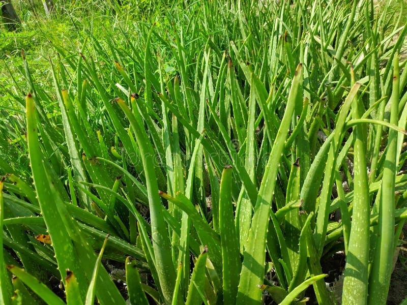 Het alo? Vera is succulente plantensoort van de soort Alo? stock afbeeldingen