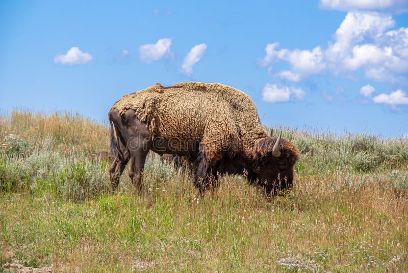 Het Amerikaanse Bizon weiden stock afbeeldingen