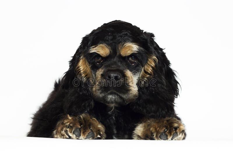 Het Amerikaanse cocker spaniel-puppy kijken royalty-vrije stock afbeeldingen