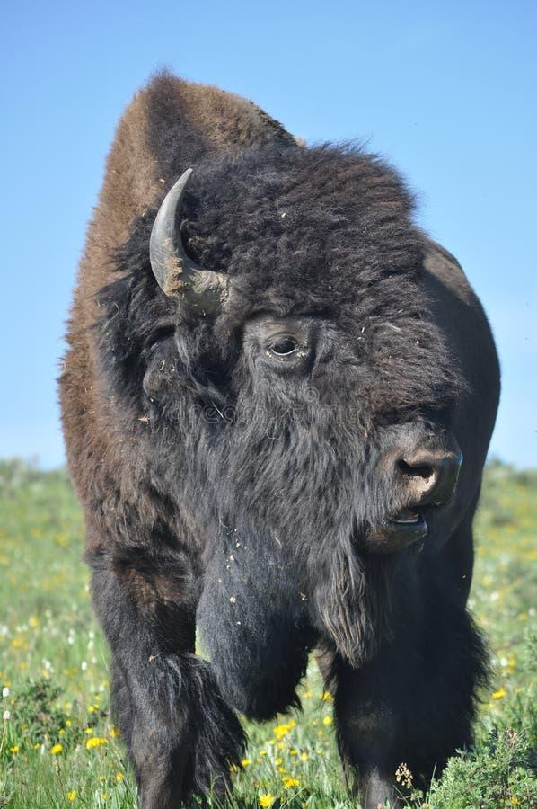 Het Amerikaanse van het gezichtsyellowstone van bizonbuffels nationale park stock afbeelding