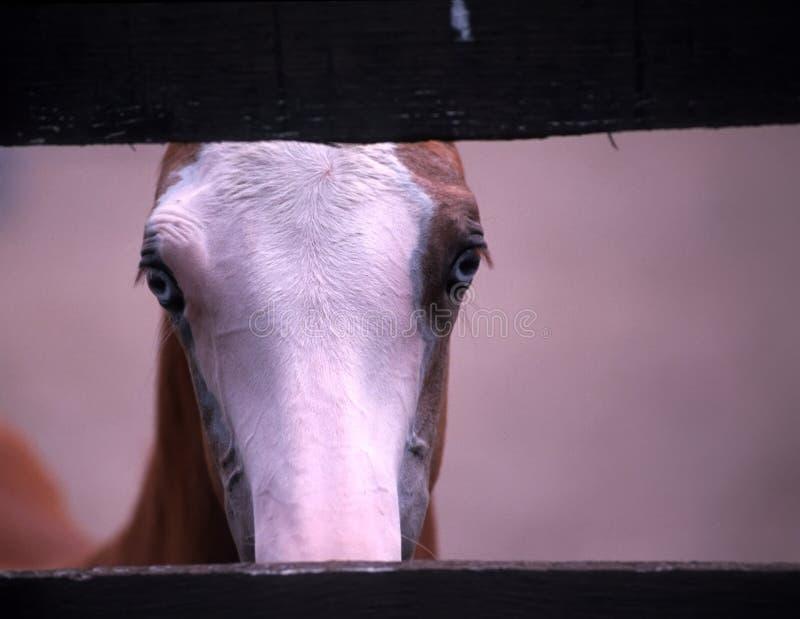 Het Amerikaanse veulen van het verfpaard royalty-vrije stock fotografie