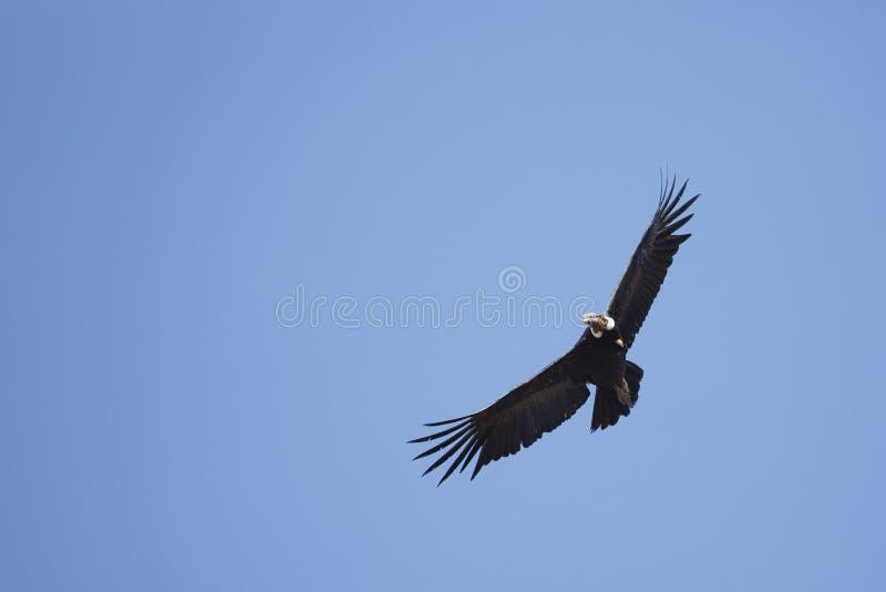 Het Andescondor stijgen en blauwe hemel royalty-vrije stock afbeelding