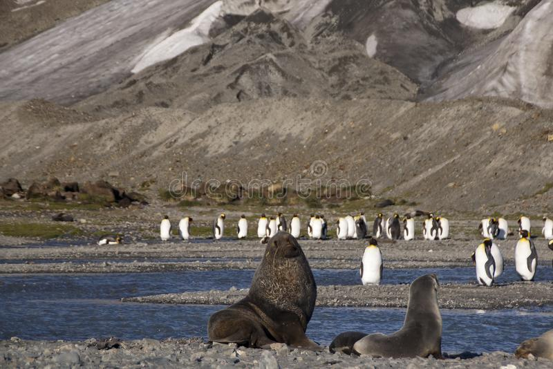 Het antarctische bont verzegelt het onderzoeken grondgebied met koningspinguïnen op achtergrond stock foto