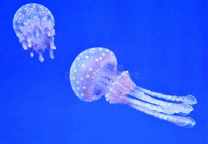 Het Aquarium van kwallenripley ` s royalty-vrije stock afbeeldingen