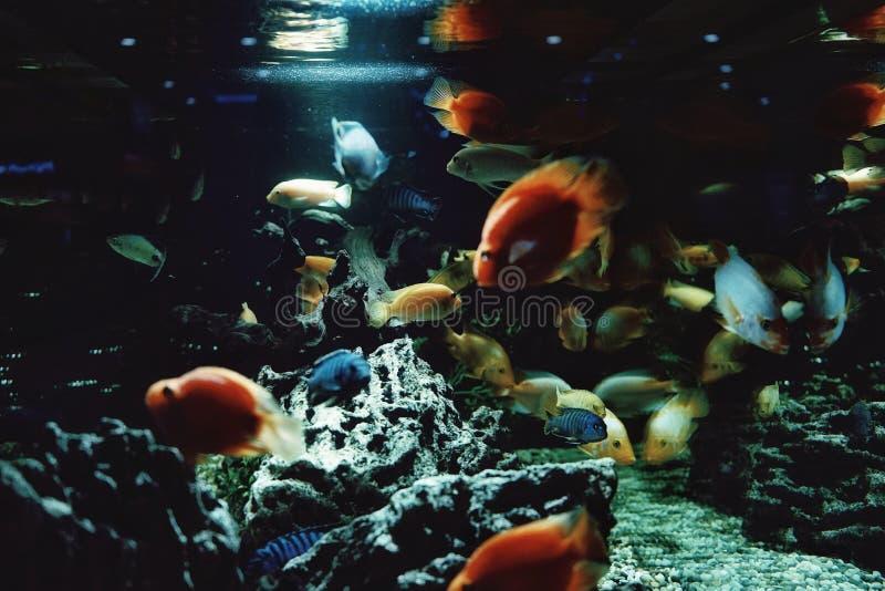 het aquarium vist het blauwe licht van het waterclose-up royalty-vrije stock foto