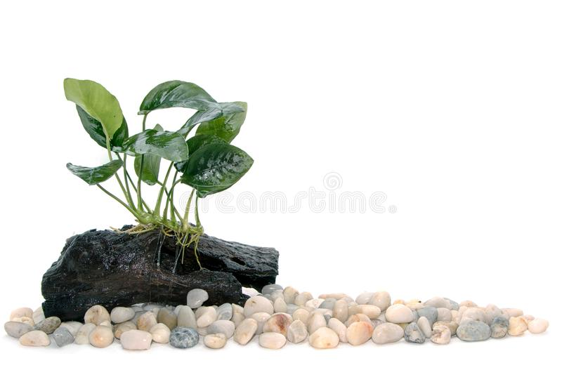 Het aquariuminstallaties van Anubiasbarteri op klein drijfhout stock foto's