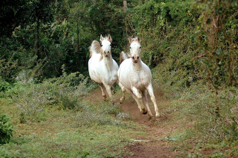 Het Arabische paarden galopperen stock fotografie