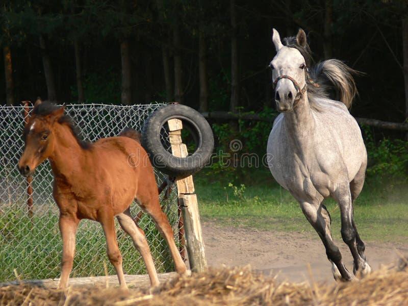 Het Arabische paarden lopen royalty-vrije stock afbeeldingen