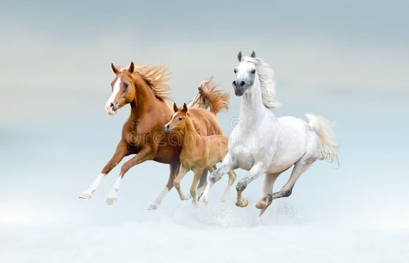 Het Arabische paarden lopen vrij op het gebied royalty-vrije stock afbeelding