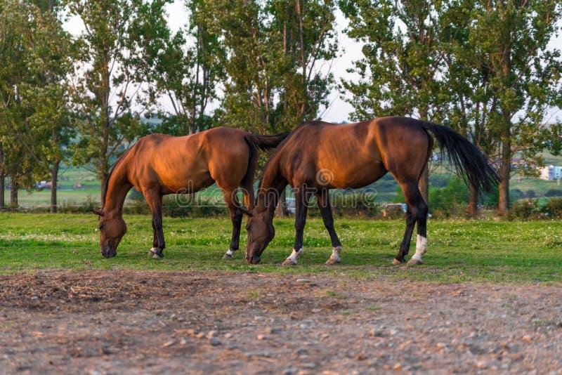 Het Arabische paarden weiden stock fotografie