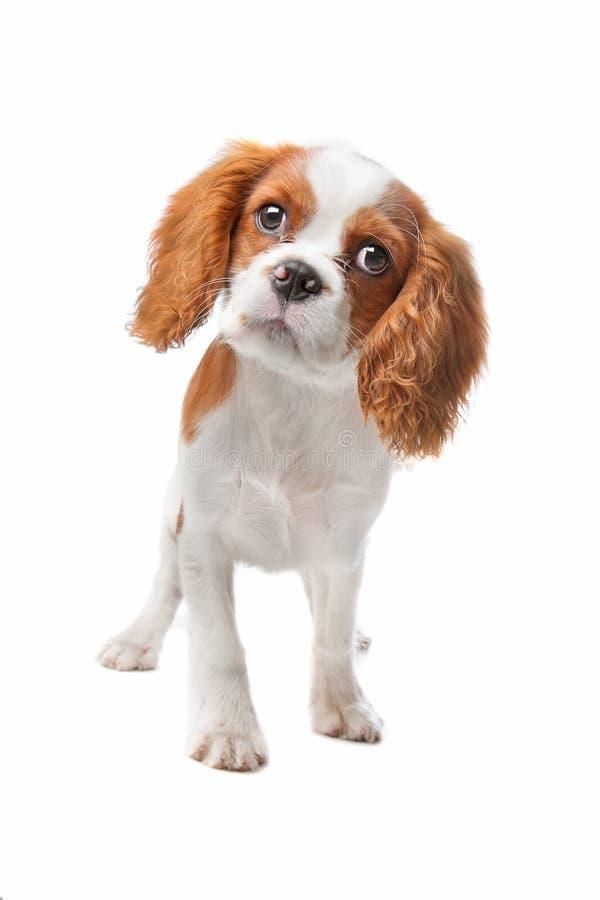 Het arrogante puppy van Charles Spaniel van de Koning royalty-vrije stock fotografie