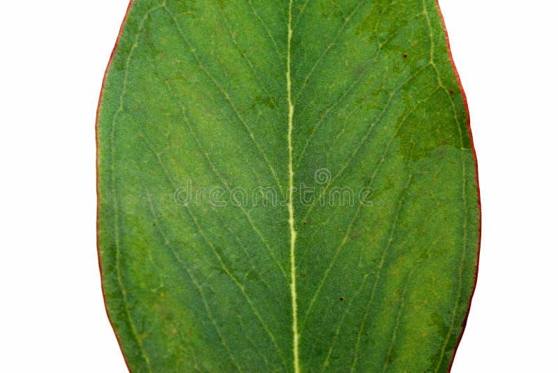 Het Australische Blad van de Eucalyptus royalty-vrije stock foto's