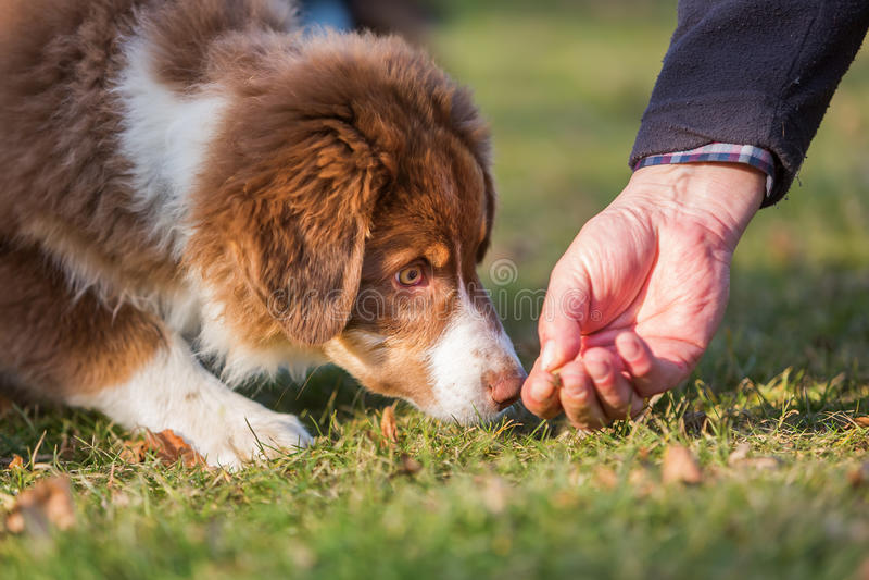 Het Australische Herderspuppy krijgt een traktatie royalty-vrije stock afbeeldingen