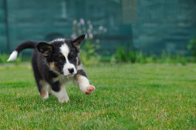 Het Australische het puppy van de Herder lopen royalty-vrije stock foto