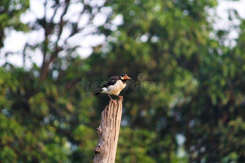 Het Aziatische bonte starling, Gracupica contra, Corbett National Park, Nainital, Uttarakhand royalty-vrije stock afbeeldingen