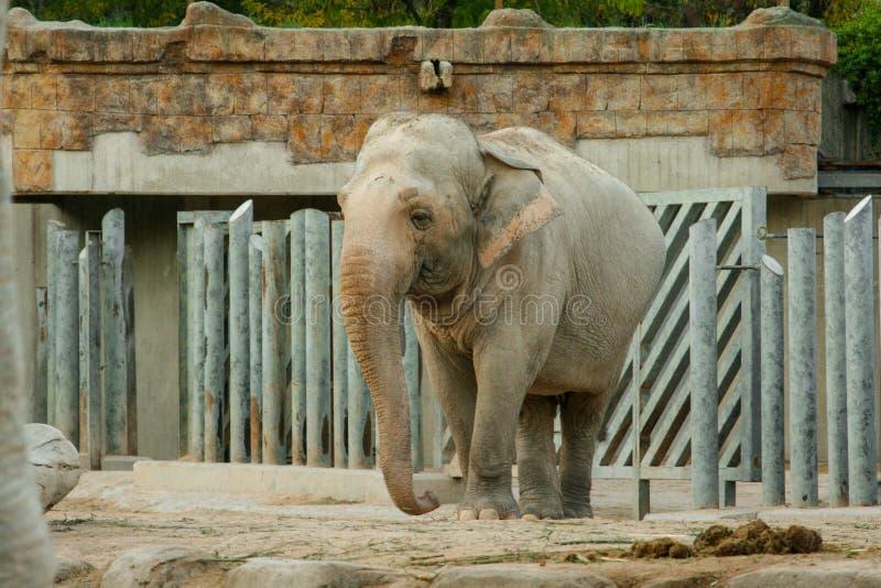 Het Aziatische maximus volledige lengte van olifantselephas stellen voor de camera stock foto's