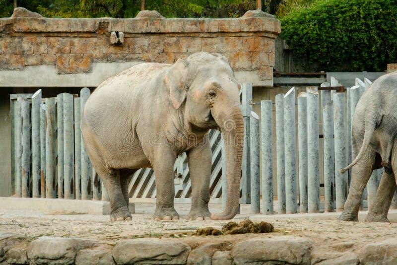 Het Aziatische maximus volledige lengte van olifantselephas stellen voor de camera royalty-vrije stock afbeelding