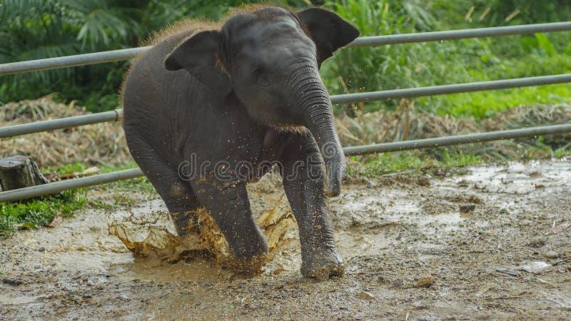 Het Aziatische olifantsbaby spelen in modderig water, phang nga, Thailand stock afbeelding