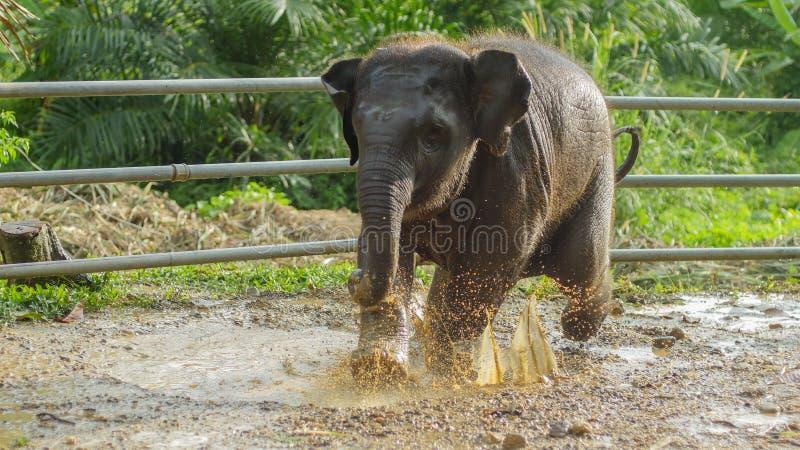 Het Aziatische olifantsbaby spelen in modderig water, phang nga, Thailand royalty-vrije stock fotografie