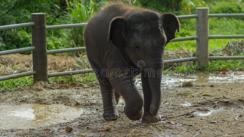 Het Aziatische olifantsbaby spelen in modderig water, phang nga, Thailand stock afbeeldingen