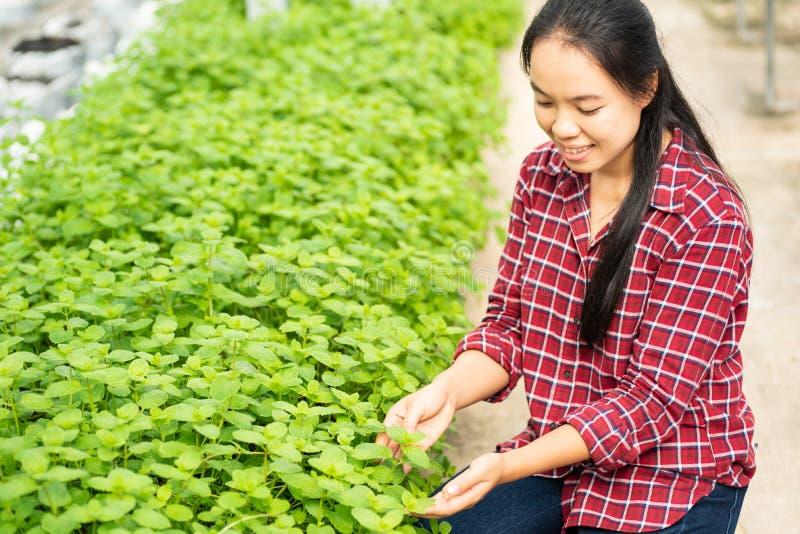 Het Aziatische vrouwenlandbouwer het plukken blad van de pepermunt stock foto's