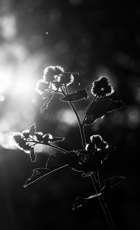 Het Back-lit het bloeien wildflower zonnebaden in zonlicht royalty-vrije stock foto's