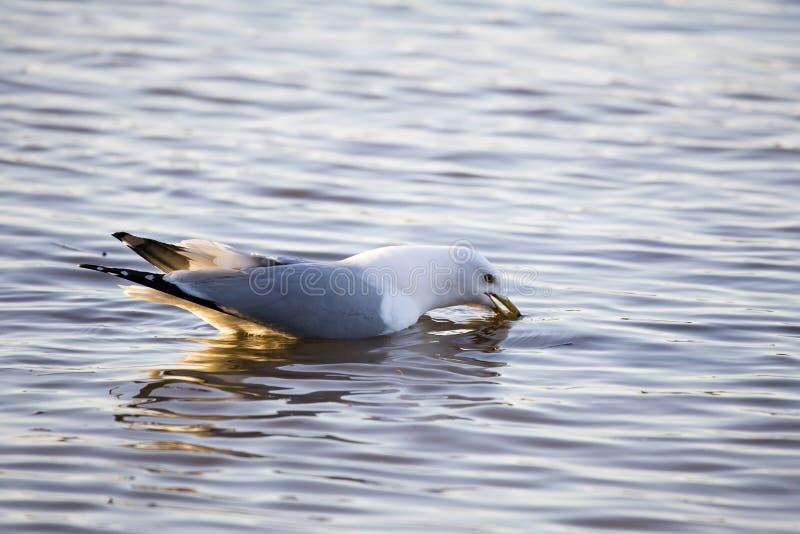Het Backlit ring-gefactureerde meeuw gezien eten in ondiep water op de St Lawrence River kust stock fotografie