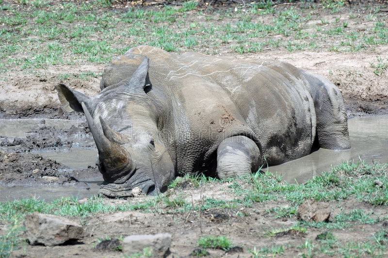 Het bad van de rinoceros. royalty-vrije stock afbeelding