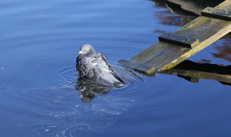 Het baden duif royalty-vrije stock foto