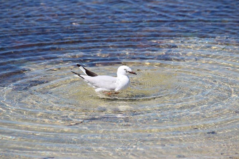 Het baden duif royalty-vrije stock fotografie
