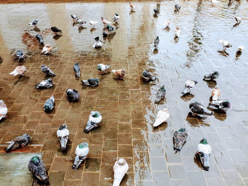 Het baden duiven stock afbeelding