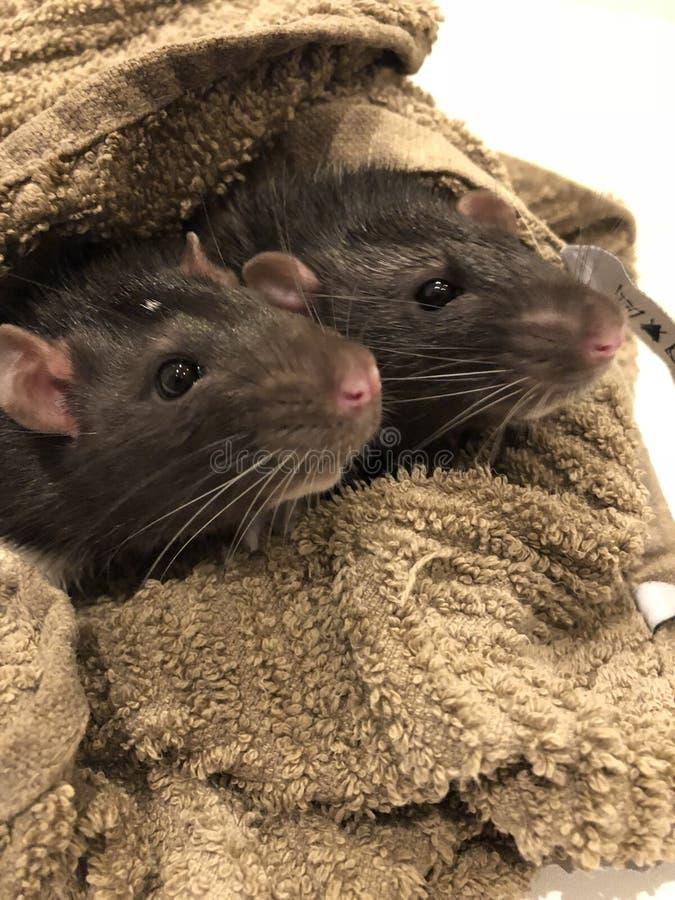 Het baden ratten stock foto