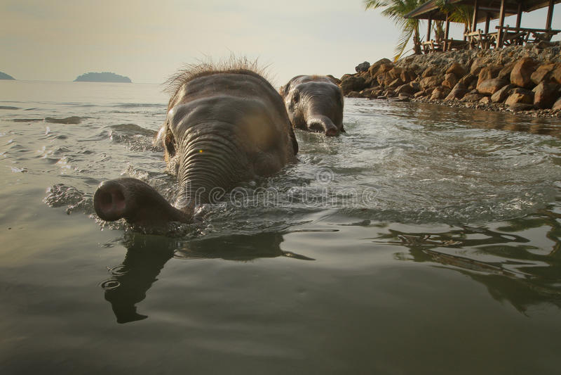Het baden van twee olifanten in het overzees stock afbeeldingen