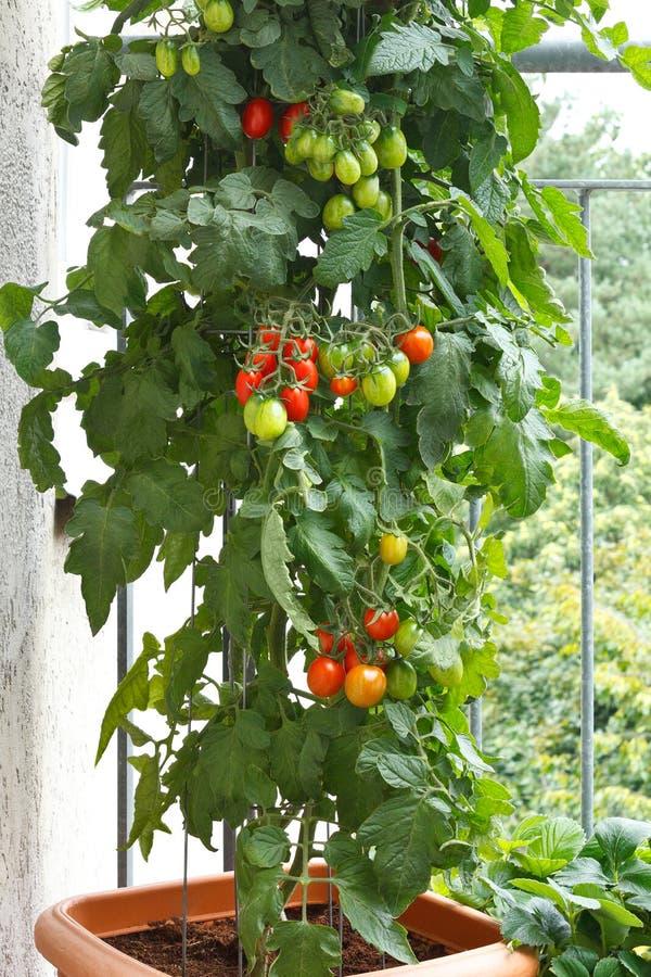 Het balkontomaten van de tomatenplantpot royalty-vrije stock fotografie