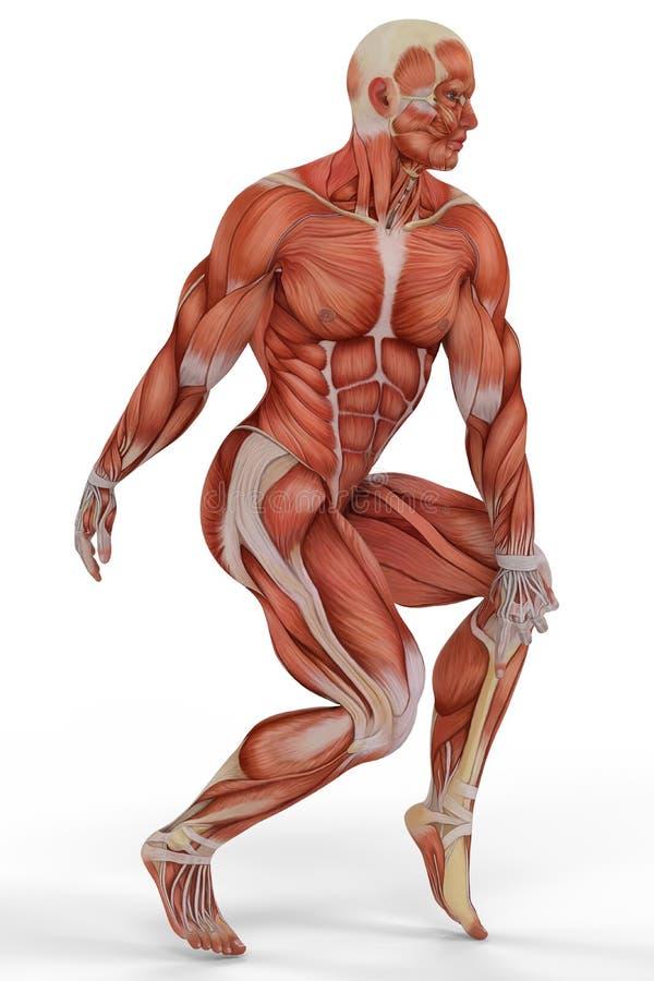 Het balletdans 2 van de spier medische mens stock illustratie