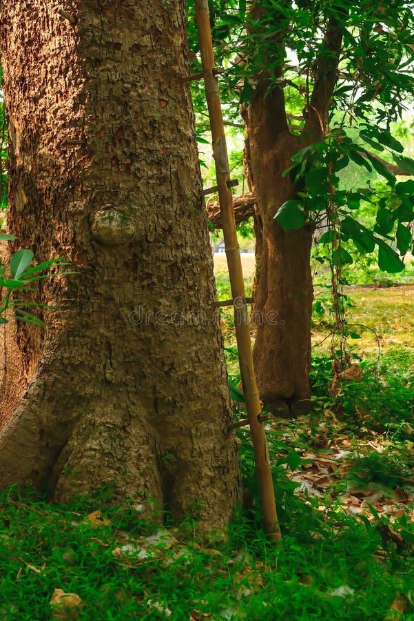 Het bamboe is in bijlage aan de grote boom royalty-vrije stock afbeelding