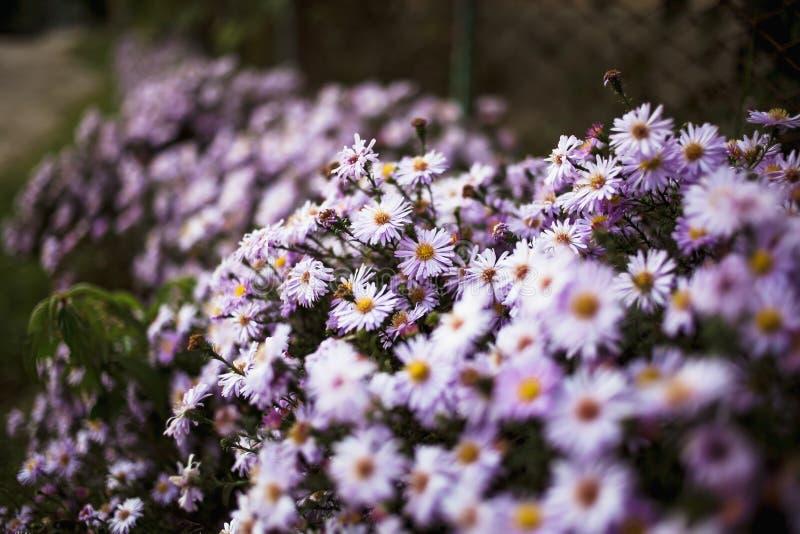 Het bed van de de zomerbloem met bloeiende purpere madeliefjes stock fotografie