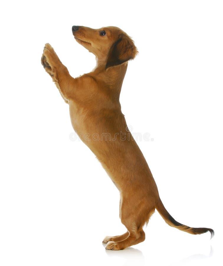Het bedelen van de hond stock afbeelding