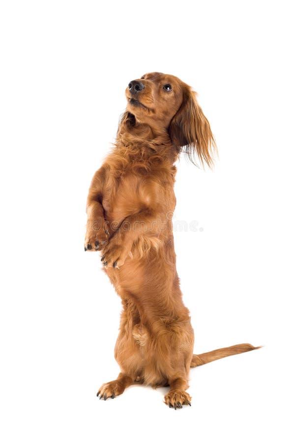 Het bedelen van hond Daschund royalty-vrije stock afbeelding